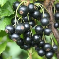 Blackcurrant 'Little Black Sugar®' (Pot Grown)